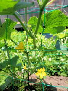 花の陰には小さなキュウリが。サラダや漬け物など夏の食卓に欠かせない野菜です。