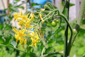 夏野菜の代表格トマトはビタミンやリコピン、カロテンなどの栄養がいっぱい含まれた健康野菜です。